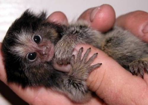 Cute Finger Monkeys Pics