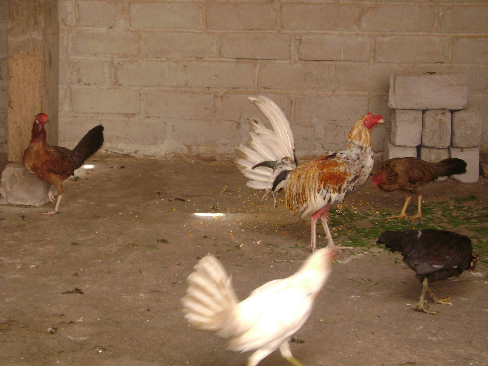 Gallos Finos Criaderos De Gallos Fotos De Gallos Finos ...