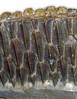 Teeth from the lower jaw of a hadrosaur showing its multiple rows of leaf-shaped teeth.