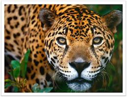 Jaguar de Chiapas