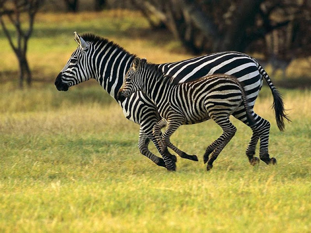 Afrika - Page 17 African_animals_zebras_free_screensaver_picture_26951