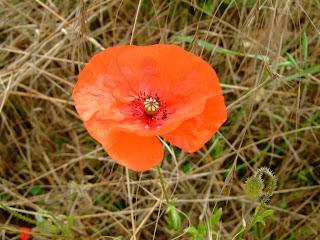 Somme Poppy