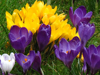 Crocuses in the New River gardens