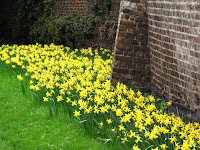 Daffodils at Fulham Palace