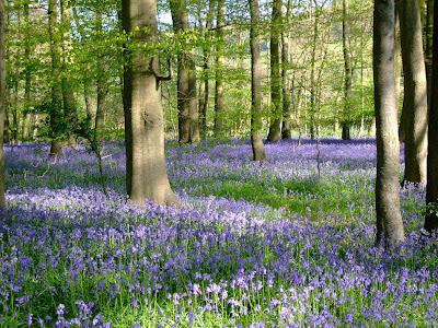 British beauties, bluebells and beeches