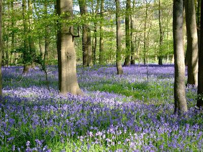 British beauties, bluebells and beeches