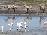 Zebras reflected in Lake Nakuru