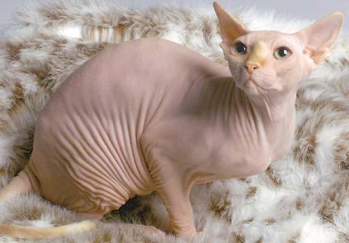http://1.bp.blogspot.com/_kVBIKsx0ZqQ/TApGXOQUsUI/AAAAAAAAGGM/uuw4abKceVo/s1600/hairless_cat.jpg