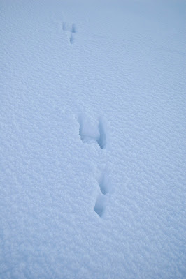 Brown Hare footprints