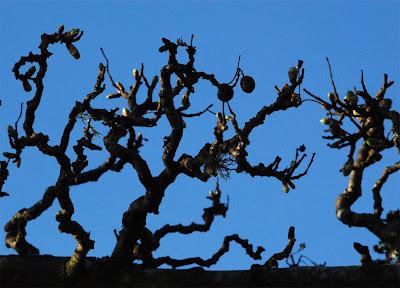 Hawthorn Crataegus monogyna branches
