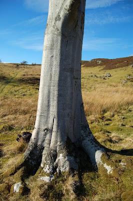 Beech tree(Fagus sylvatica)