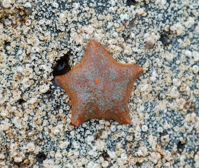 cushion star (Asterina gibbosa)