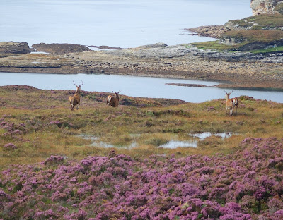 red deer (Cervus elaphus) elgol