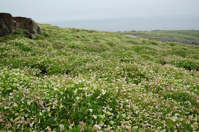 sea campion (Silene uniflora)