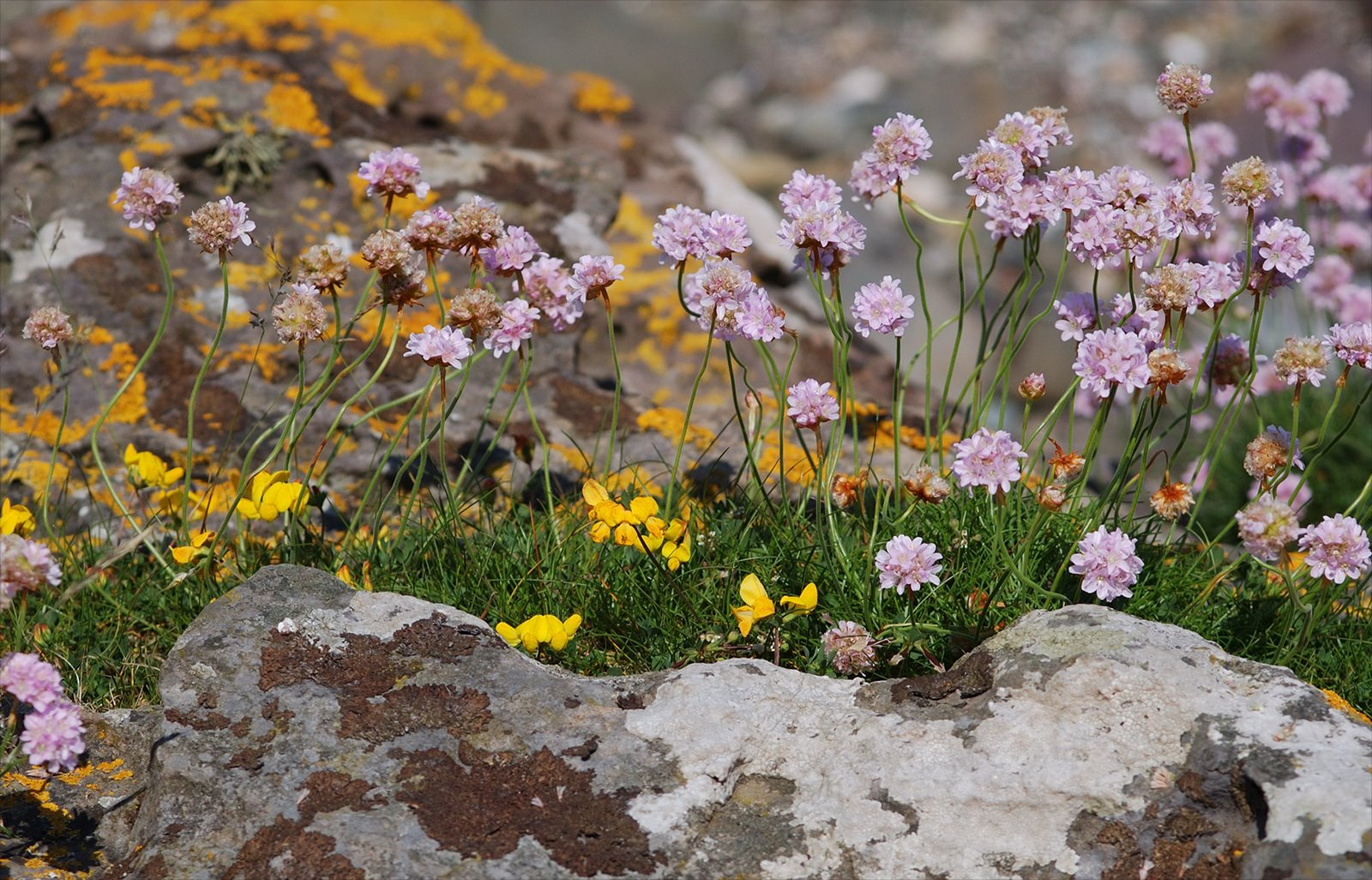 Thrift and lichens Armeria maritima