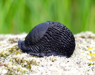 Large Black Slug (Arion ater)