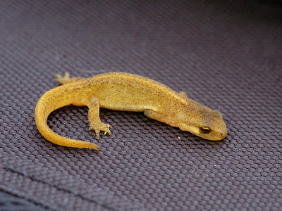 Palmate newt (Lissotriton helveticus)