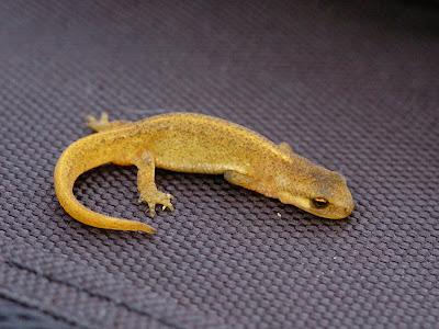 Palmate newt (Lissotriton helveticus)