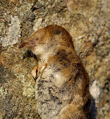 common shrew