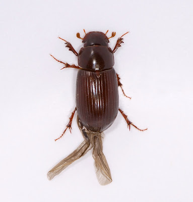 Aphodius rufipes