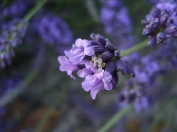 Malarkey Lavender