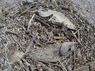 Dead Tilapia Near Bombay Beach