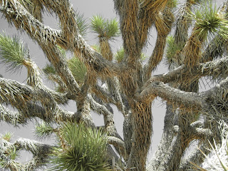 Detail of a Joshua Tree.