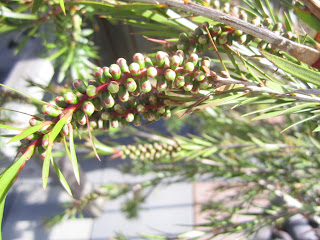 Callistemon just before blooming