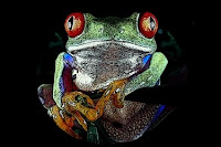 R-animal-red eyed tree frog, R for red eyed tree frog pictures