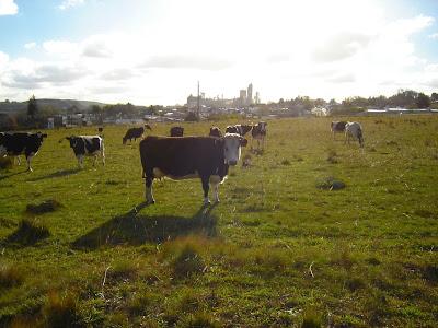 Paisaje de campo, vacas, fábrica de Sierras Bayas. Olavarria. Bs As. Argentna