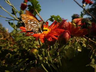 Mi perra Iara, un poco melancolica, convertida en mariposa sobre una flor contandole sus penas