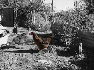 La gallina linda en colores y el resto del gallinero en grises