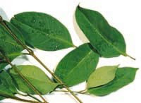 the secret of bay leaves