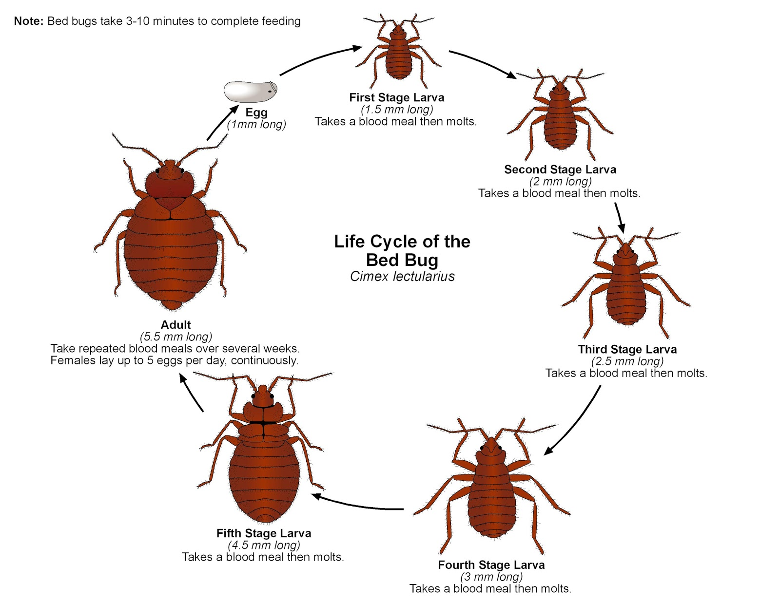 Bed bugs what you need to know article by laurie jo for Average lifespan of a mattress