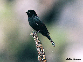 viudita comun(Knipolegus aterrimus)macho