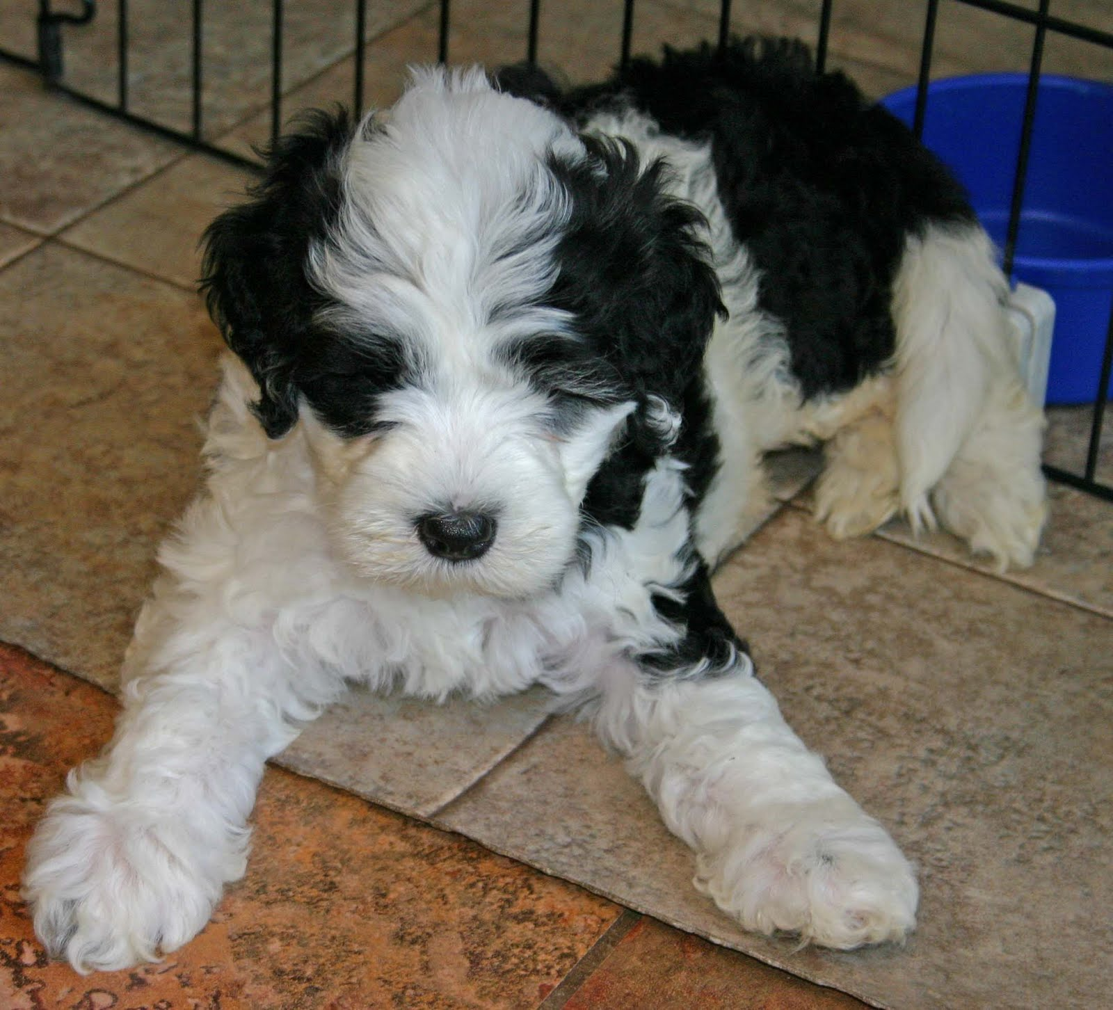 Black And White Portuguese Water Dog For Sale