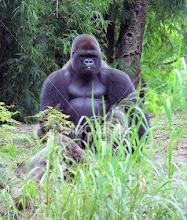 Gorila de la montaña