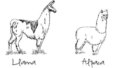 llamas in hats. llamas in hats. anything close