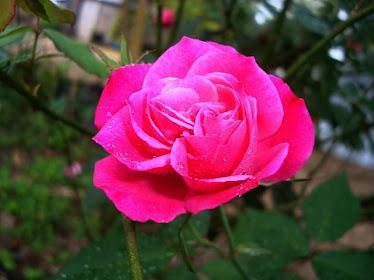 A mi Rosa
