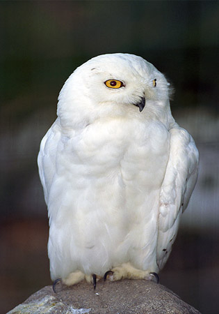 SNOWY OWL( Available In Russia)