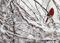 A Cardinal sits in a snow-covered tree in Port Washington, New York February 22, 2008. REUTERS/Shannon Stapleton (US)
