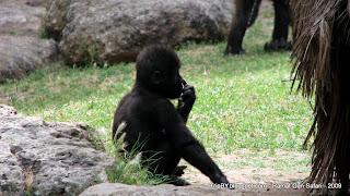 Смешная обезьянка (ковыряется в носу :) ) в парке сафари Рамат Ган, Израиль