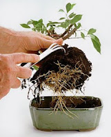 how to care a bonsai