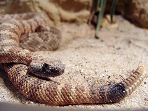 Oli 39 s corner imitazione di un serpente a sonagli - Serpente collegare i punti ...