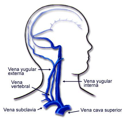 La vida del deportista: Vascularizacion del cuello (venas)