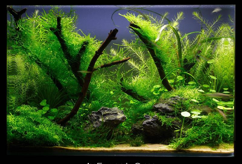 aquascape adalah seni menata aquarium menggunakan batu kayu tanaman ...