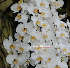 Phalaenopsis amabilis pelaihari