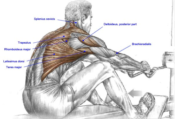 Fitness and Muscle Work: Seated Rows