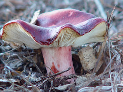 Russula undulata