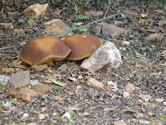 Leccinum corsicum